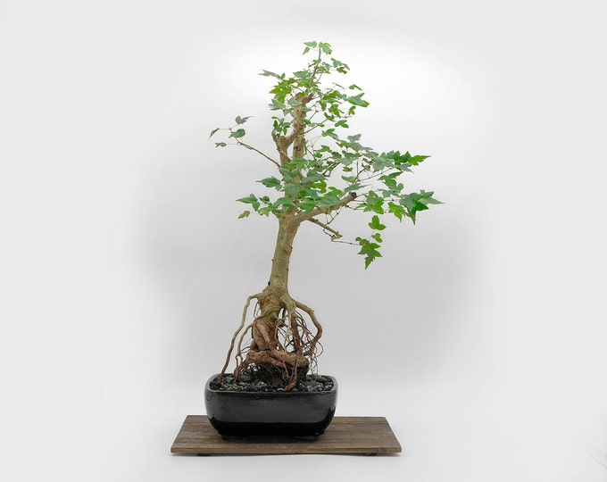 """Trident Maple bonsai tree, """"Live Art"""" collection from LiveBonsaiTree"""