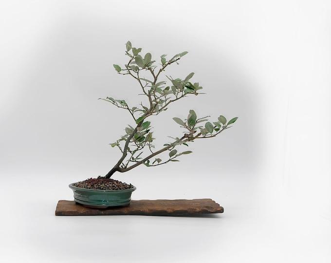 "Japanese Elaeagnus bonsai tree, ""Live Art"" bonsai collection from LiveBonsaiTree"
