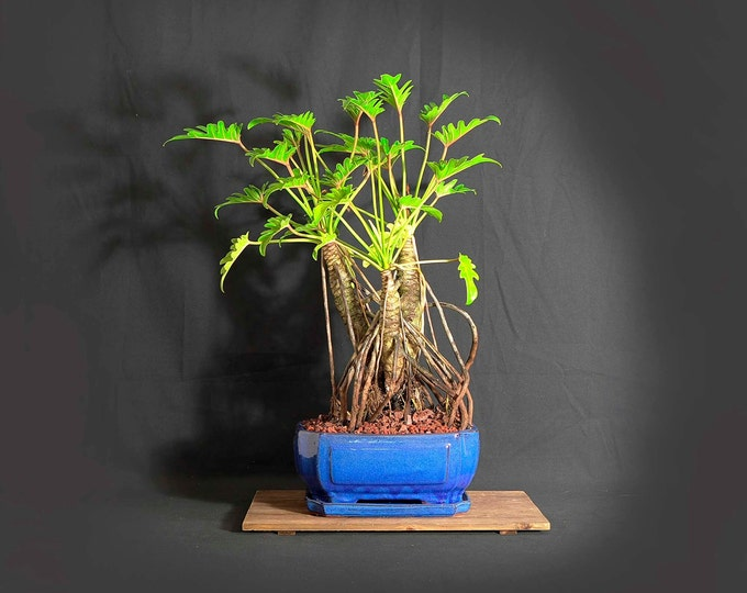 """Dwarf mature Xanadu philodendron bonsai composition, """"Wake up the world!"""" collection from LiveBonsaiTree"""