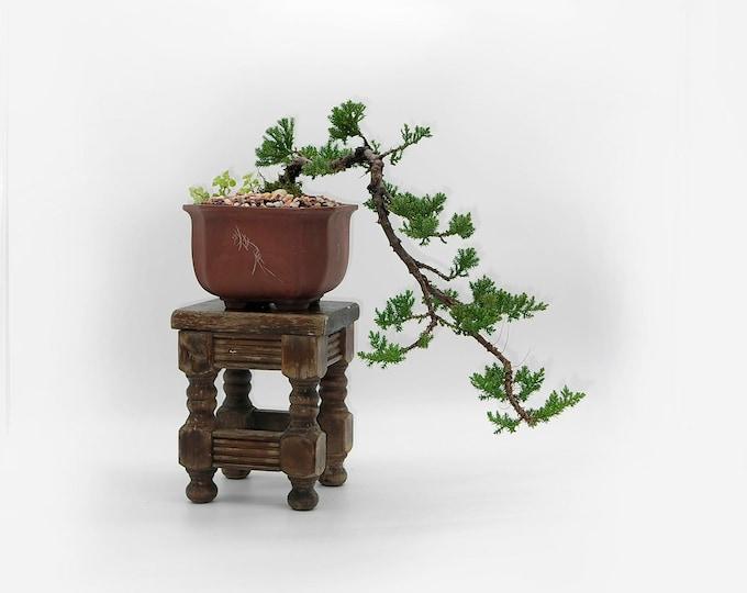 "Juniper procumbens nana bonsai tree, ""Elements of decor"" collection from LiveBonsaiTree"