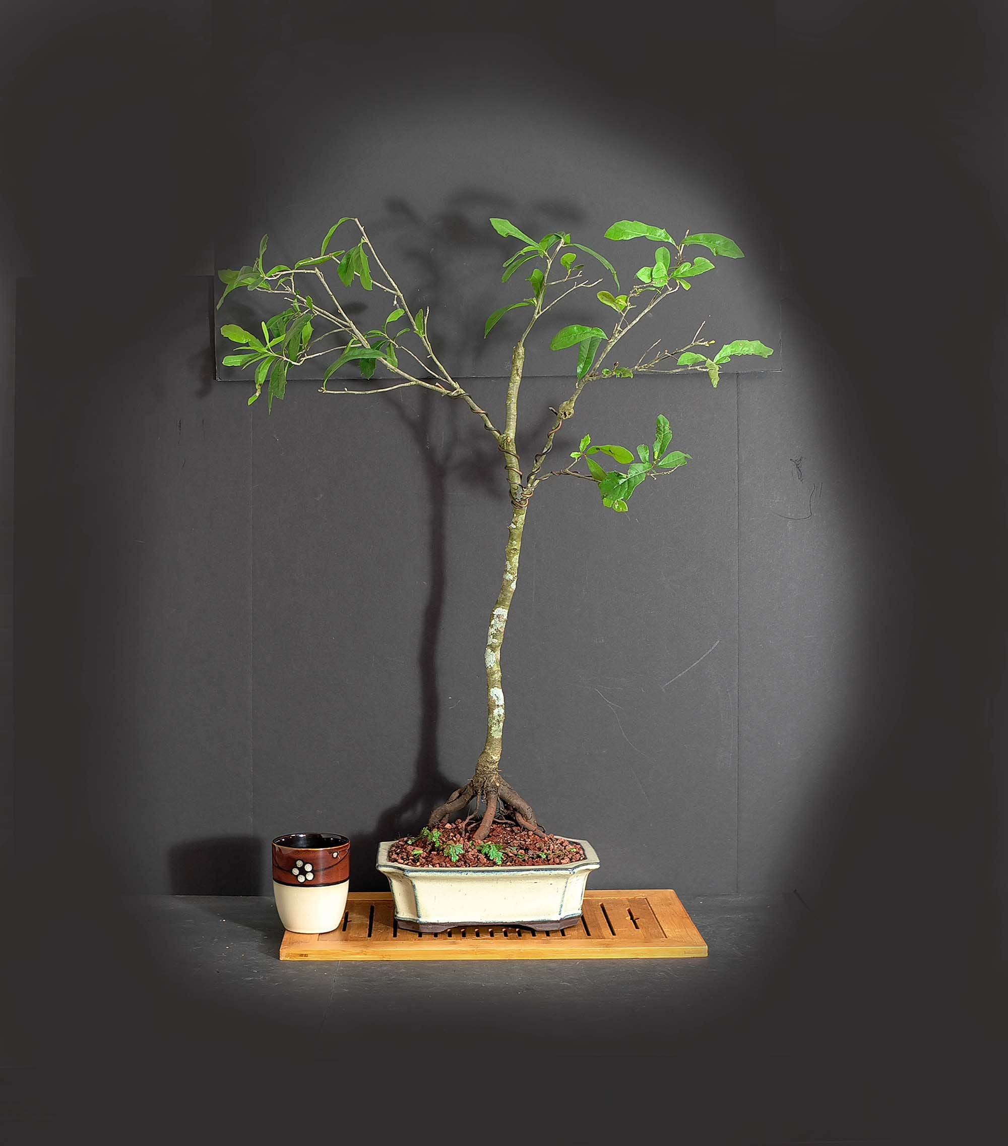 American Live Oak Bonsai Tree Stay At Home Collection From Livebonsaitree
