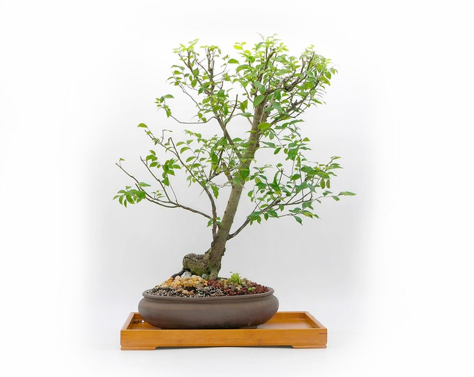 """American native Elm Bonsai Tree, """"Zen for Home"""" Collection from LiveBonsaiTree"""""""