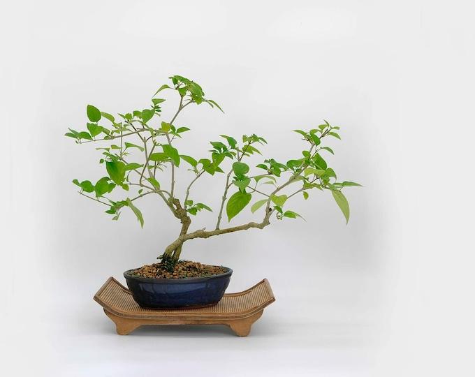 "Mandarin hat bonsai tree, ""Elements of decor"" collection from  LiveBonsaiTree"