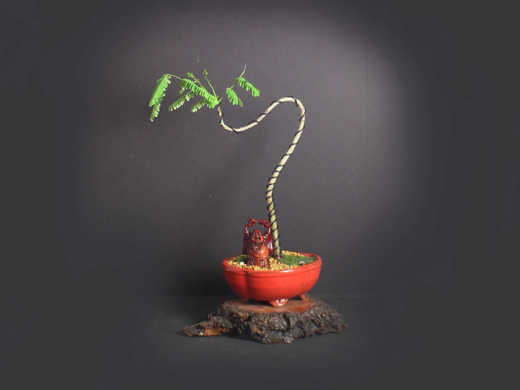 Yellow Flamboyant Poinciana Bonsai Tree Exotic Bloom Collection From Livebonsaitree