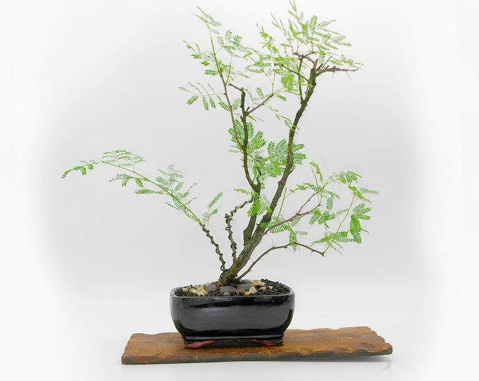 "Sweet acacia bonsai tree, ""Live Art"" collection from LiveBonsaiTree"