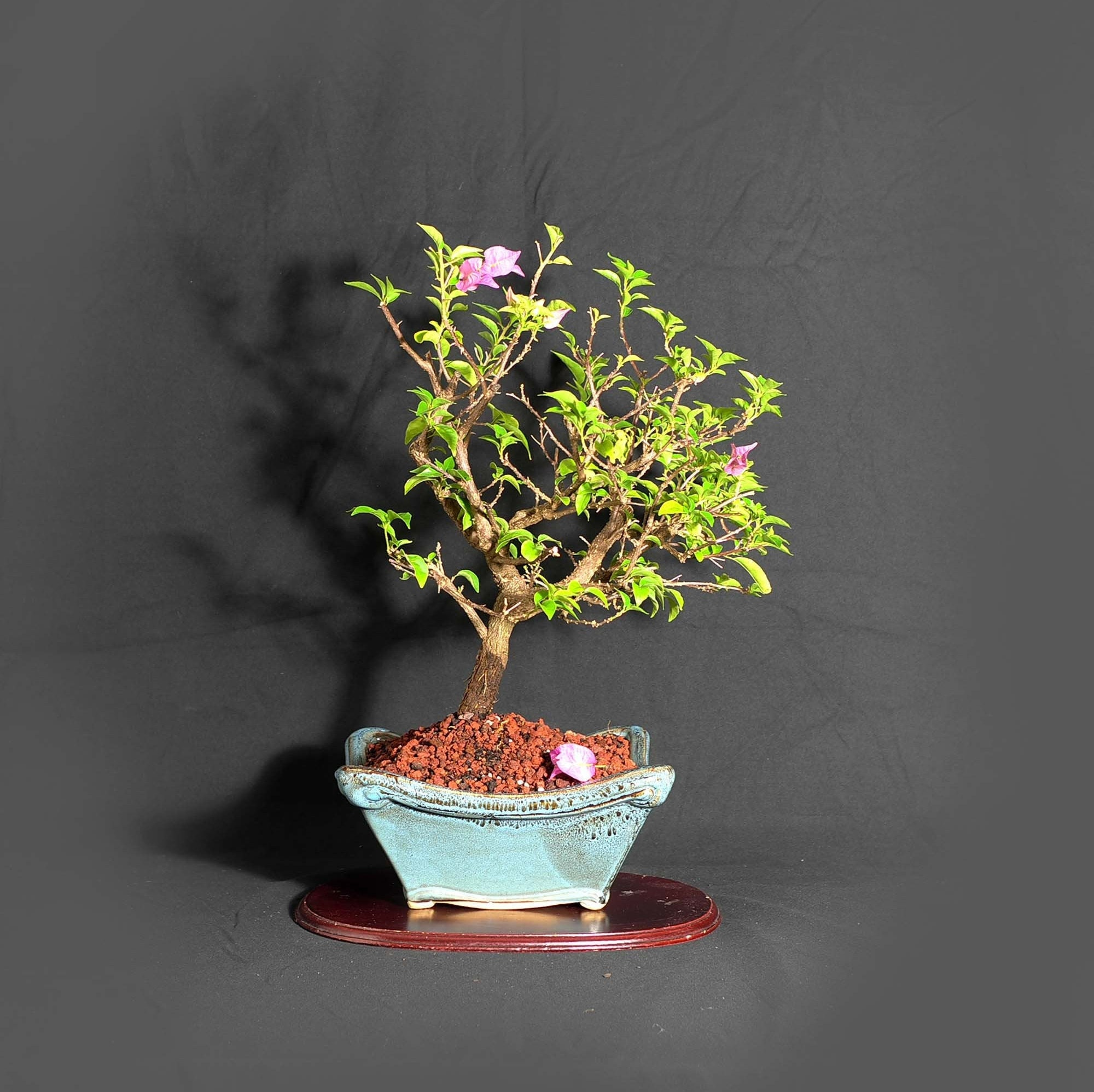 Pixie Bougainvillea Bonsai Tree Nursing Heroes Collection From Livebonsaitree
