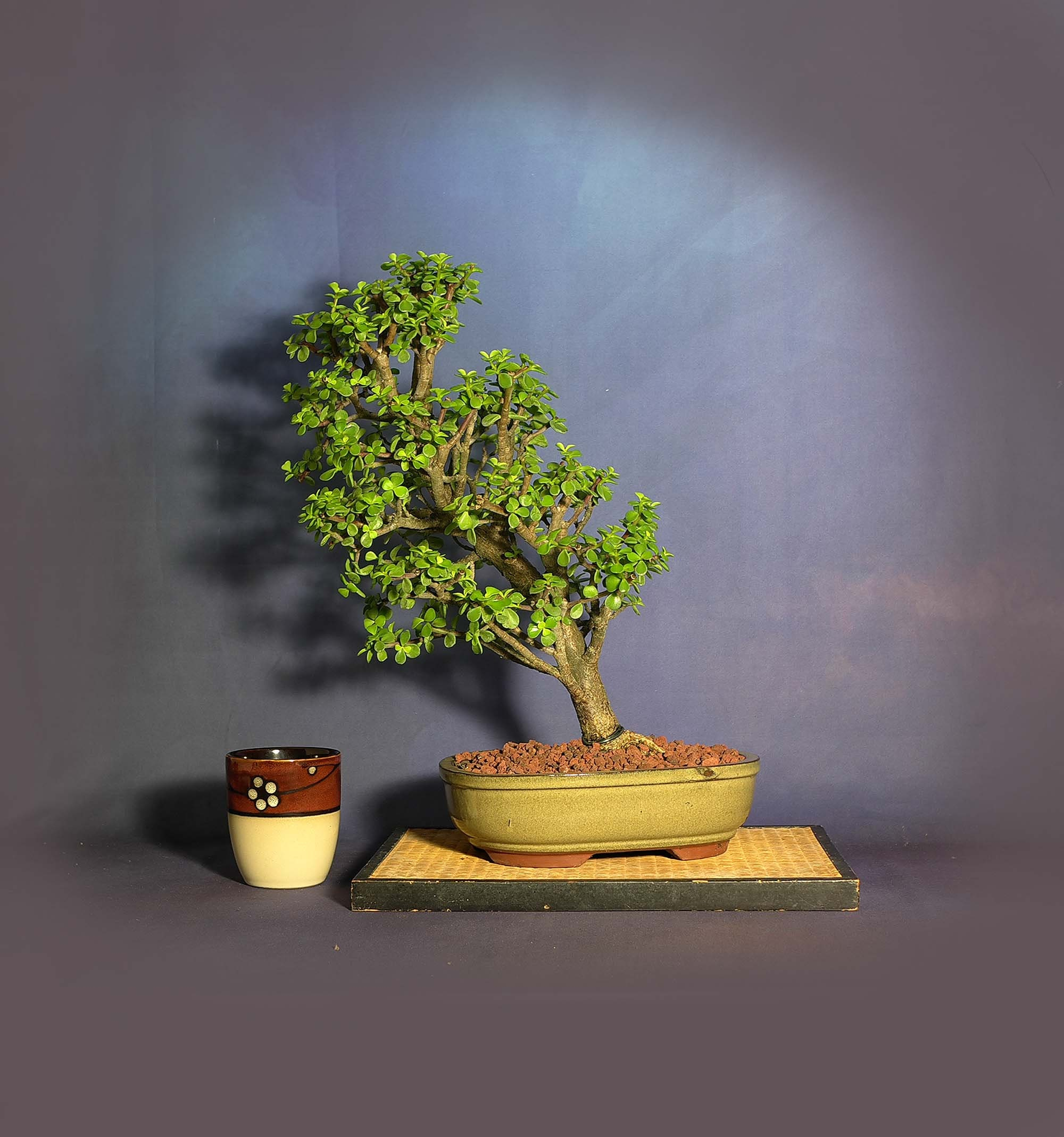 Dwarf Jade Bonsai Tree New Normal Collection From Livebonsaitree