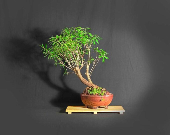 "Dwarf bottlebrush bonsai tree, ""Service pet"" Collection from LiveBonsaiTree"