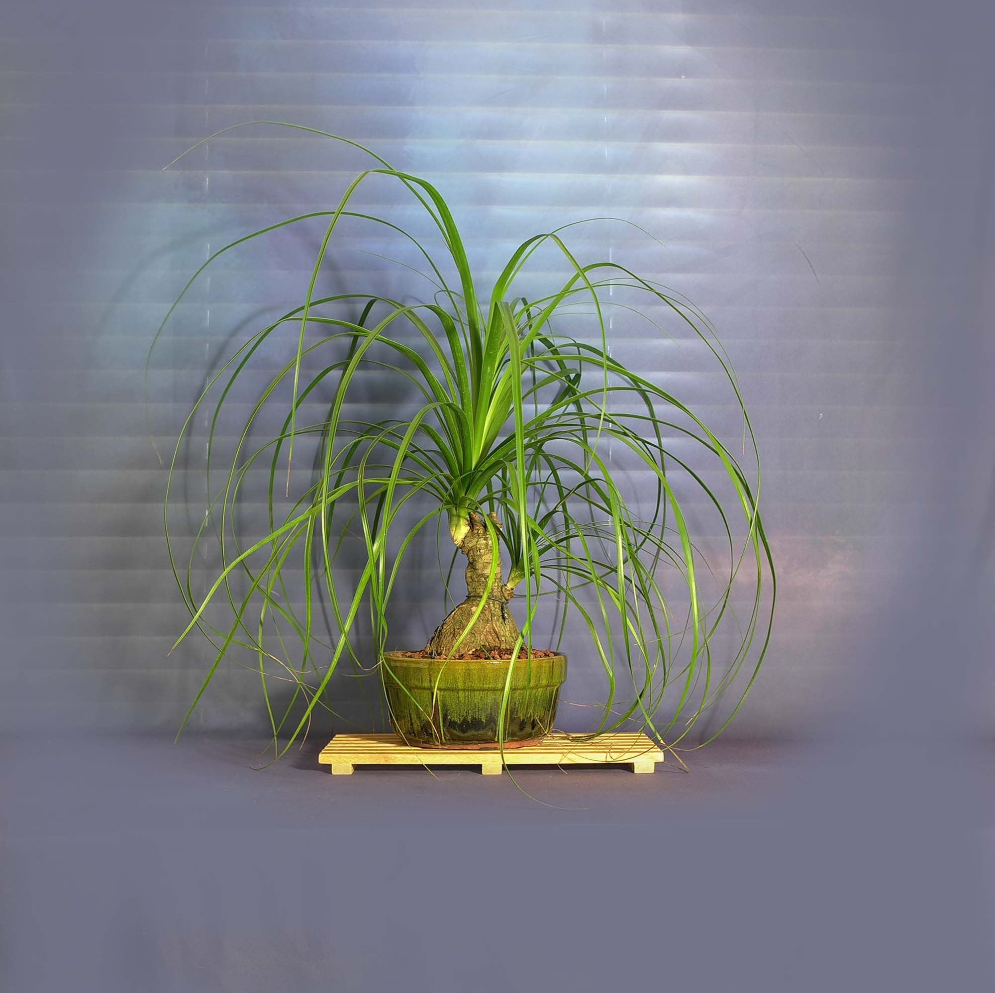 Ponytail Palm Bonsai Tree Stress Reduction Collection From Livebonsaitree