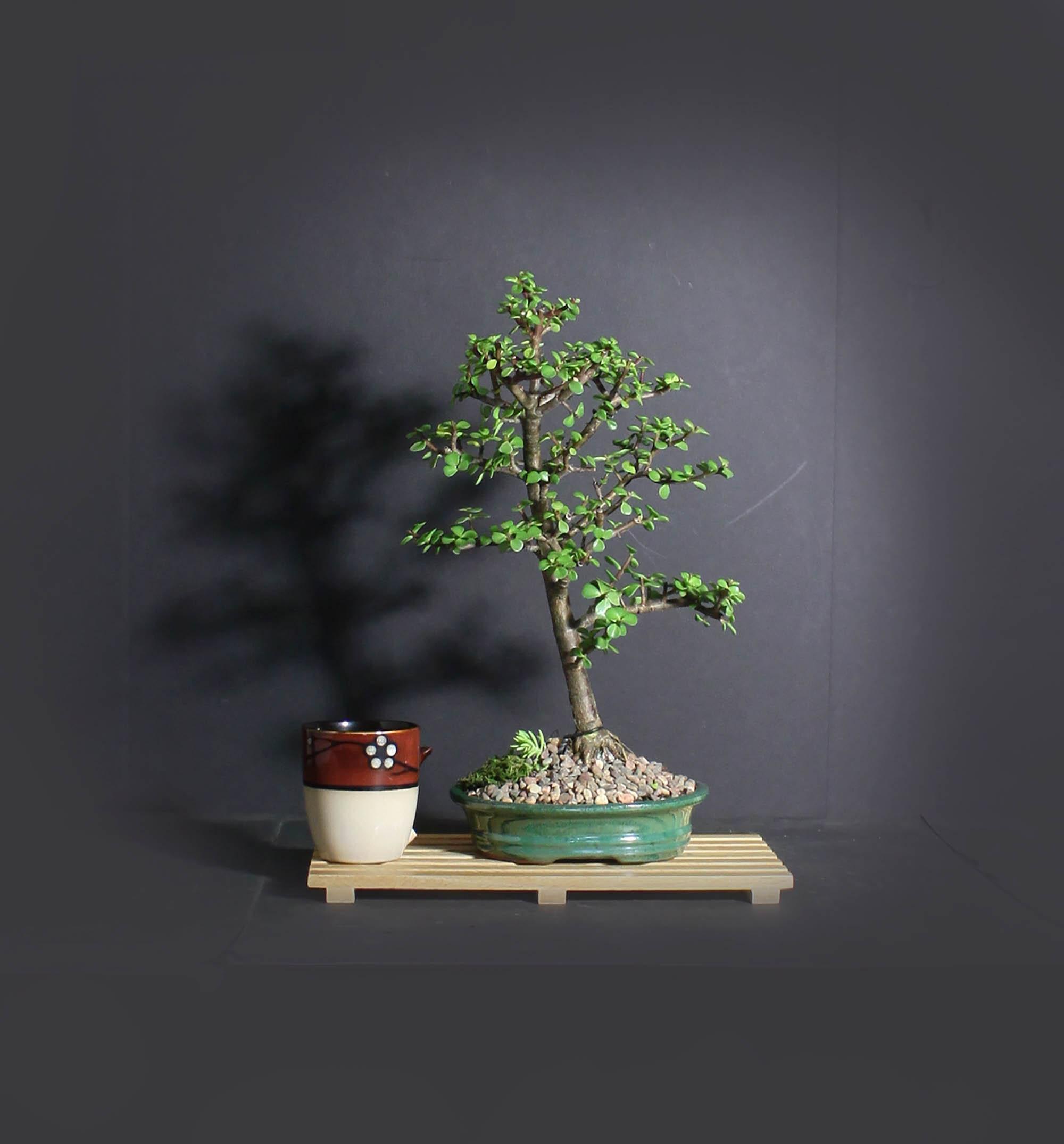 Dwarf Jade Bonsai Tree African Safari Bonsai Collection From Livebonsaitree