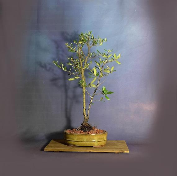 Sand Live Oak Bonsai Tree Stay Safe Collection Etsy