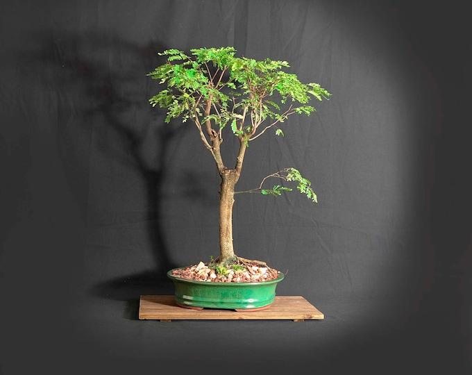 """Tropical Mahogany Bonsai Tree, """"Wake up the world!"""" bonsai collection from LiveBonsaiTree"""