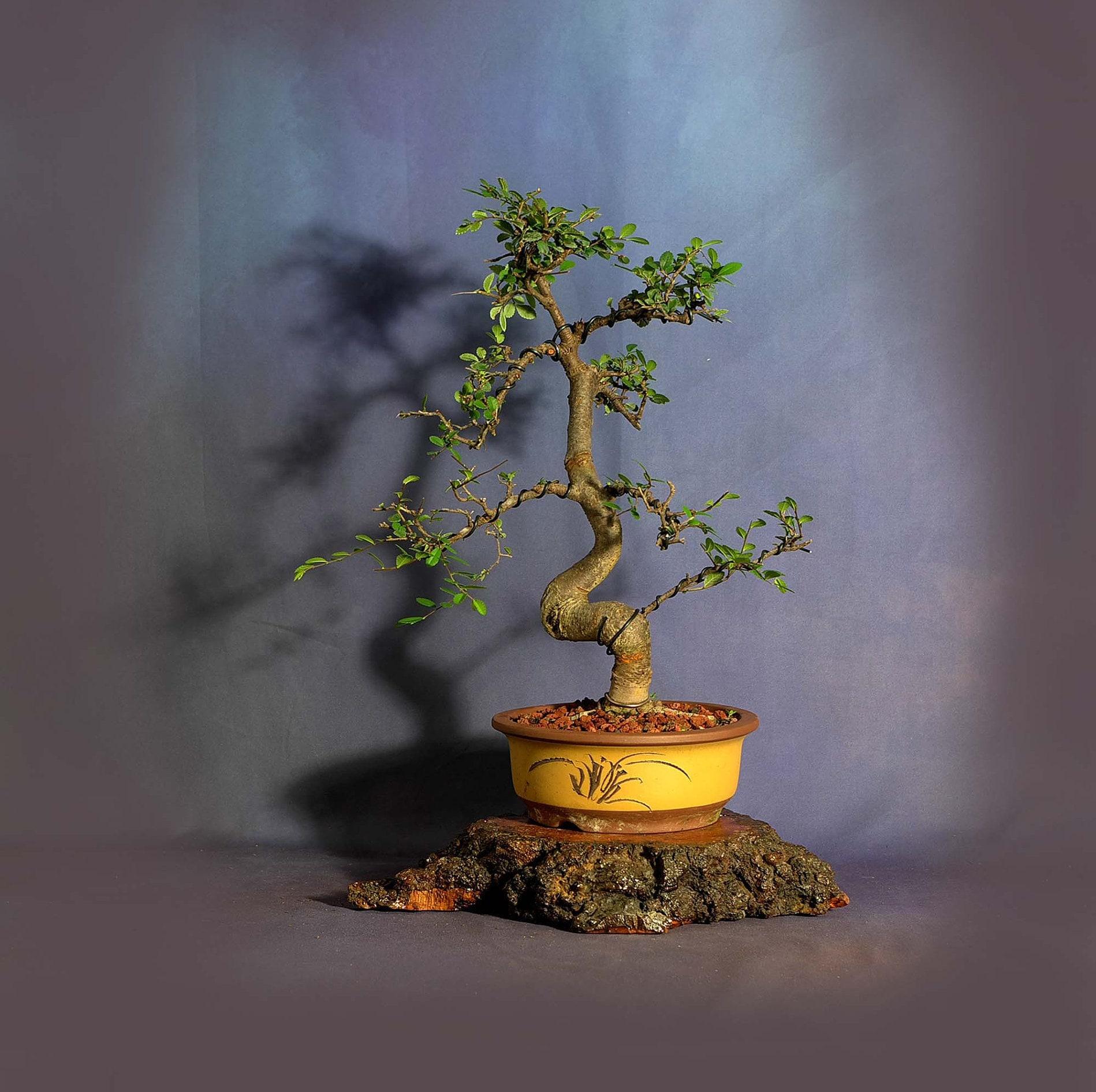 Japanese Zelkova Elm Bonsai Tree Coping Strategies Collection From Livebonsaitree