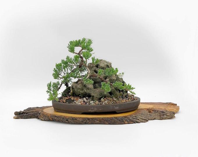 "Juniper procumbens nana landscape composition, ""Live Art"" collection from LiveBonsaiTree"