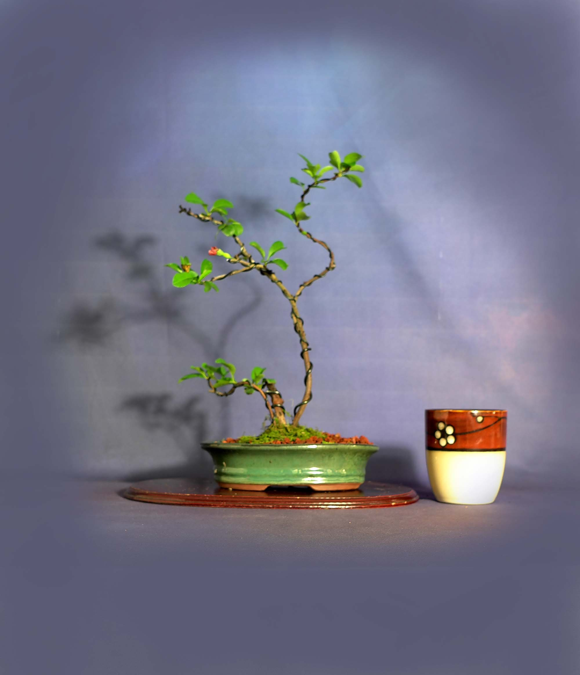 Japanese Quince Pre Bonsai Tree Help Me Breathe Collection From Livebonsaitree