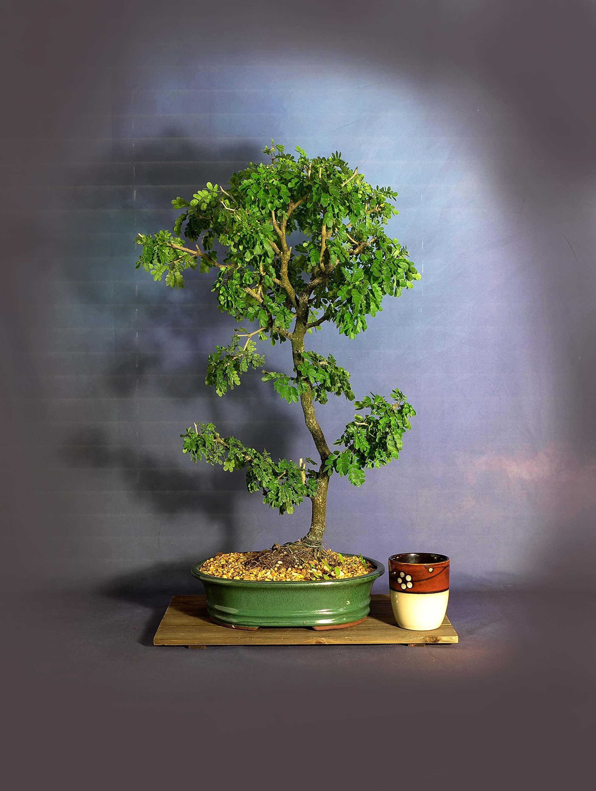 Texas Ebony Bonsai Tree Only Good News Collection From Livebonsaitree