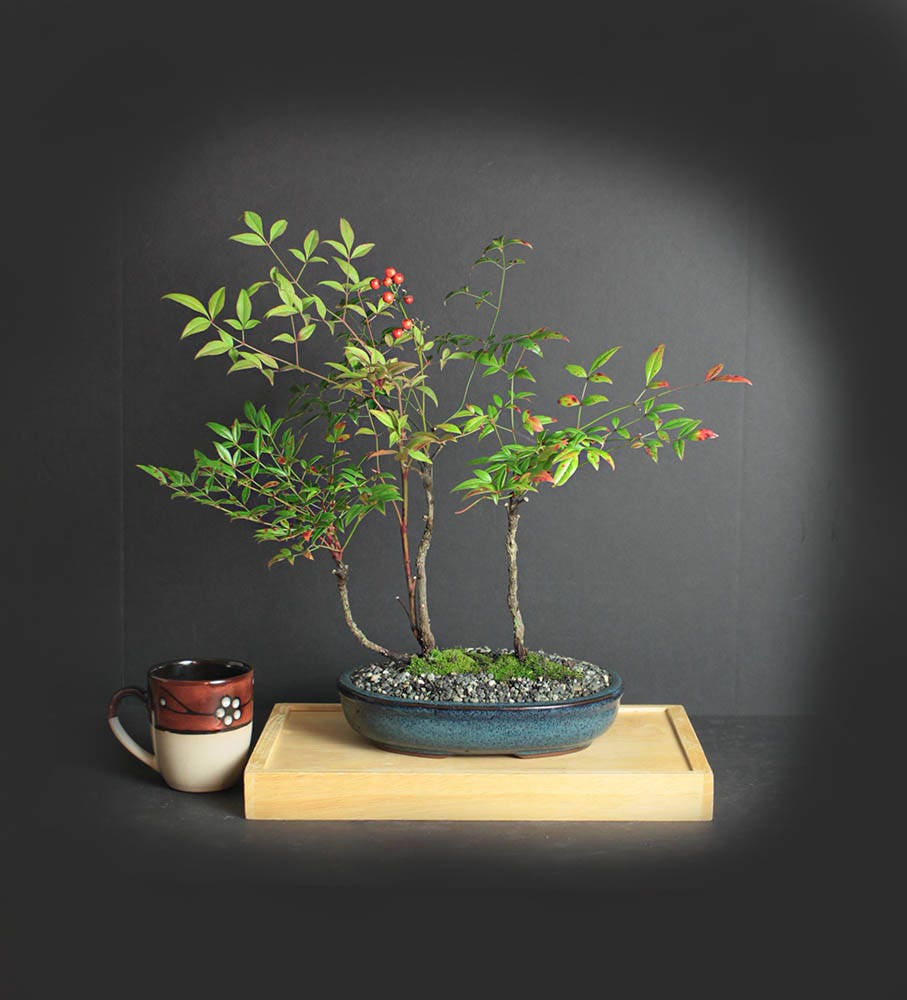 Firepower Nandina Bonsai Bamboo Bonsai Collection From Livebonsaitree