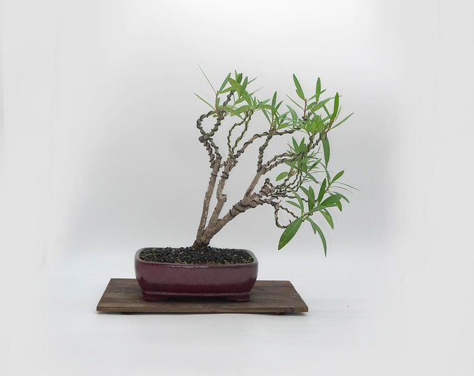 """Pink Oleander bonsai tree, """"Zen for Home"""" collection from LiveBonsaiTree"""