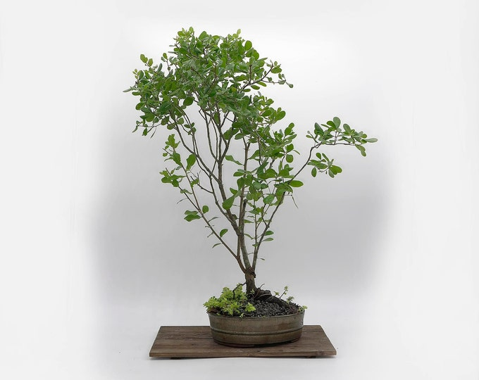 "Live Oak Bonsai Tree, ""Live Art"" collection from LiveBonsaiTree"