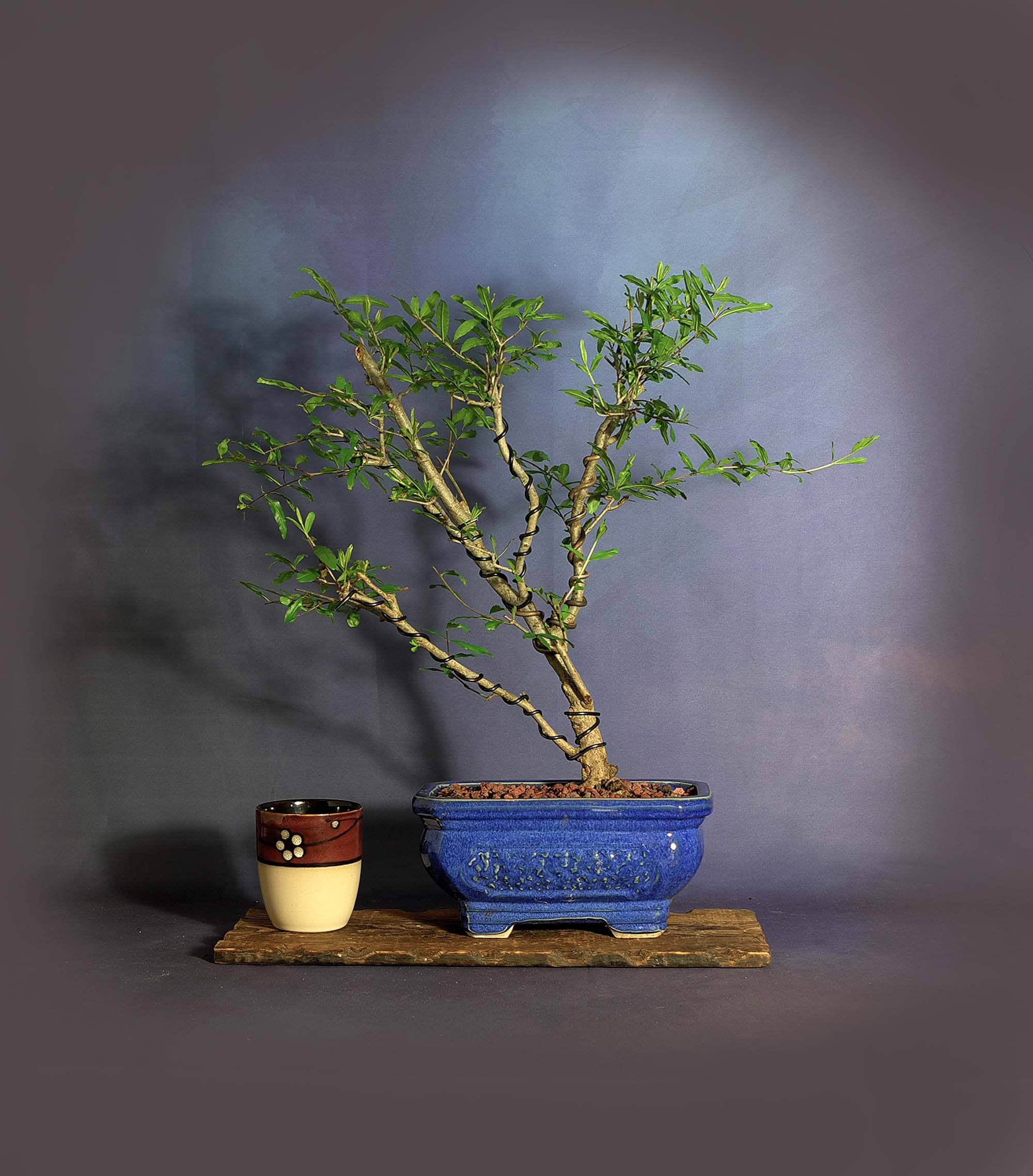 Dwarf Persian Pomegranate Bonsai Tree Essential Friends Collection From Livebonsaitree
