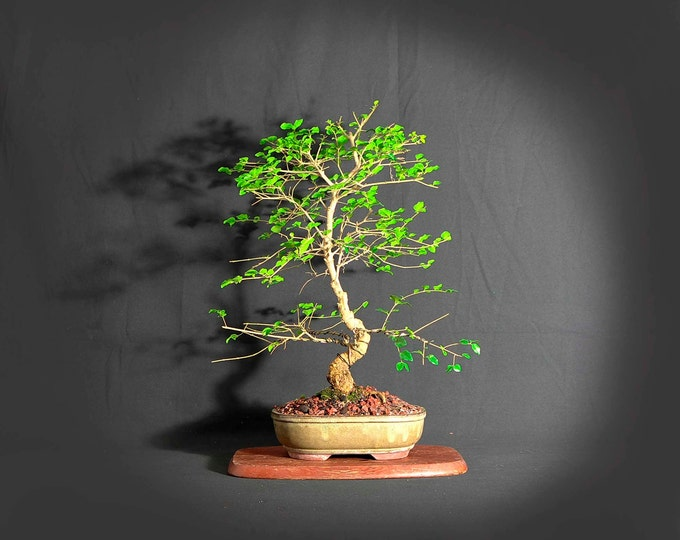 "Ligustrum bonsai tree, ""Wake up the world!"" collection from LiveBonsaiTree"