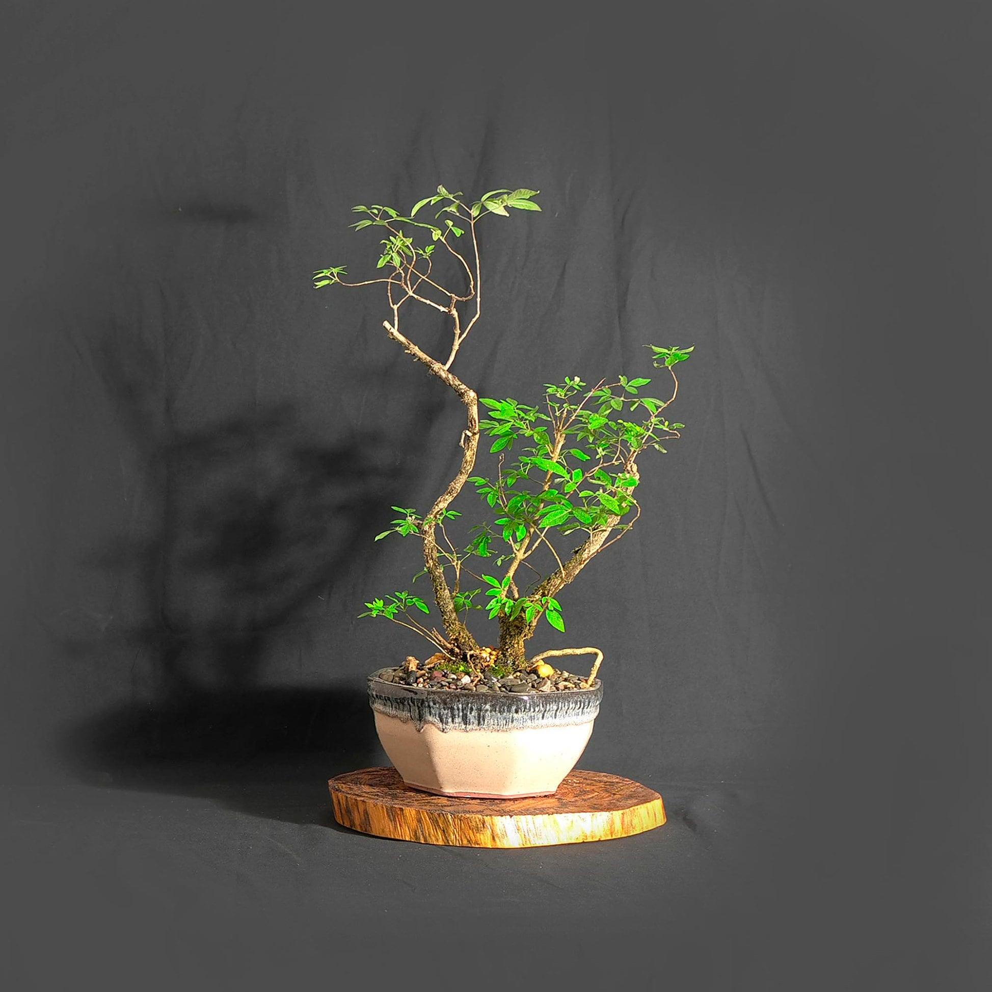 Texas Lilac Bonsai Tree Marta S Wood Bonsai Collection From Livebonsaitree
