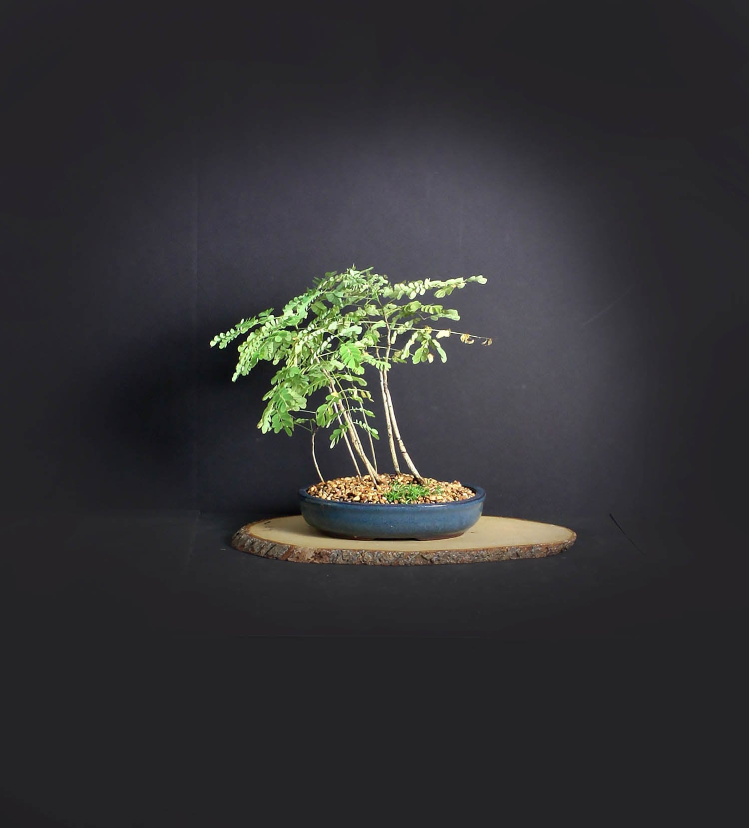 Royal Royal Royal red Poinciana bonsai tree forest,
