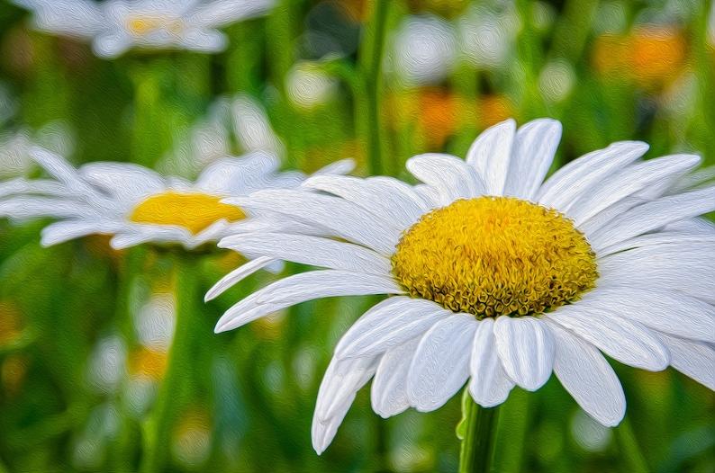 Daisy Flower Nature Print  Nature Photo Daisy Flower Photo image 0