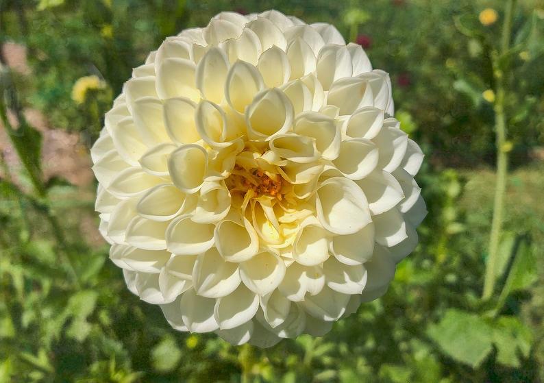 Dahlia Flower Handmade Nature Print  Nature Photo Dahlia image 0