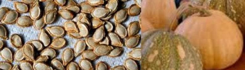 Seminole Indian Squash Seeds  20 image 0