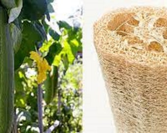 Natural Luffa Sponge and FREE Seeds!  Use for  Bathing, Cleaning Dishes & Surfaces, and to Scrub Veggies and Fruit!