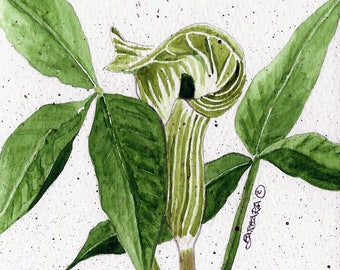 Jack-in-the-Pulpit Notecards,  Watercolor Wildflower Notecards   No. 542  Jack-in-the-Pulpit