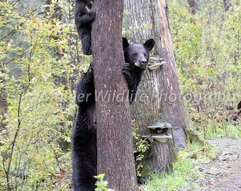 Black Bear With Cub Photo