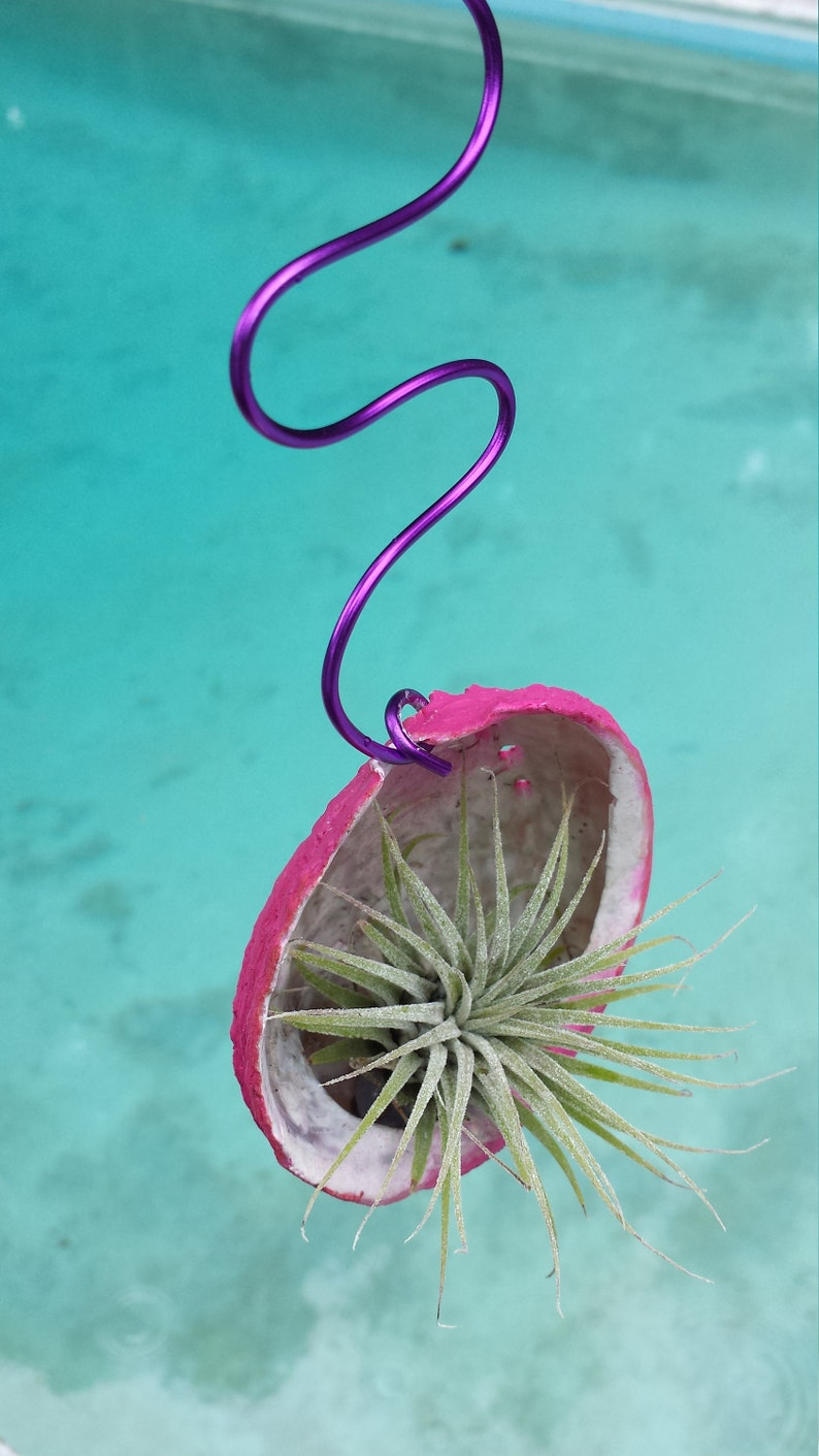 Bromeliad Tillandsia ionantha Hanging in Abalone sea shell Pink colored shell Tropical Air Plant