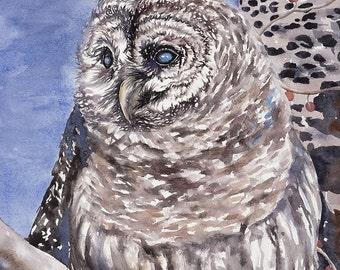 11 x 14 Giclee Print Barred Owl - Clearance