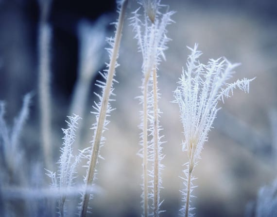 Cold (Prints) Hoar Frost on a field of weeds