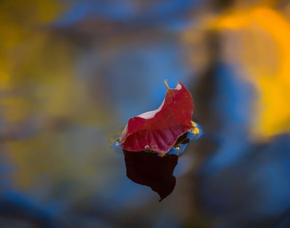 Encore (prints)  Leaf floating down Brandy Creek with fall colors Whiskeytown Lake
