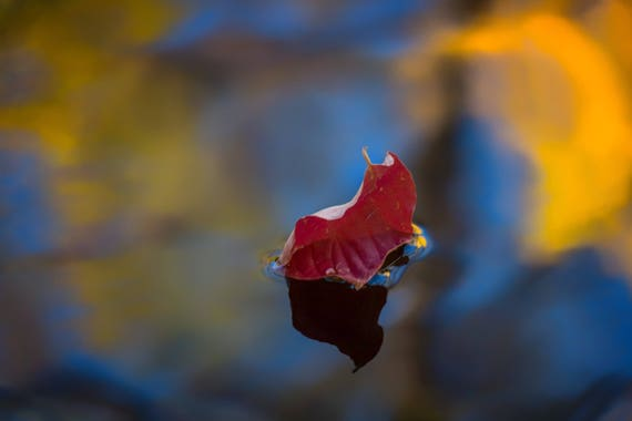 Encore (Metal Panel) a leaf floating down Brandy Creek Whiskeytown Lake fall colors