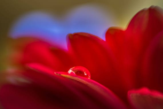 Simply Put a macro photograph of a water droplet on a Gerber Daisy