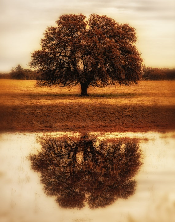 Self Reflections (prints)  lone Oak tree in Cottonwood California