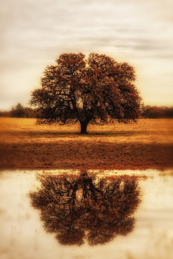 Self Reflections (CANVAS) a Lone tree in Cottonwood, California
