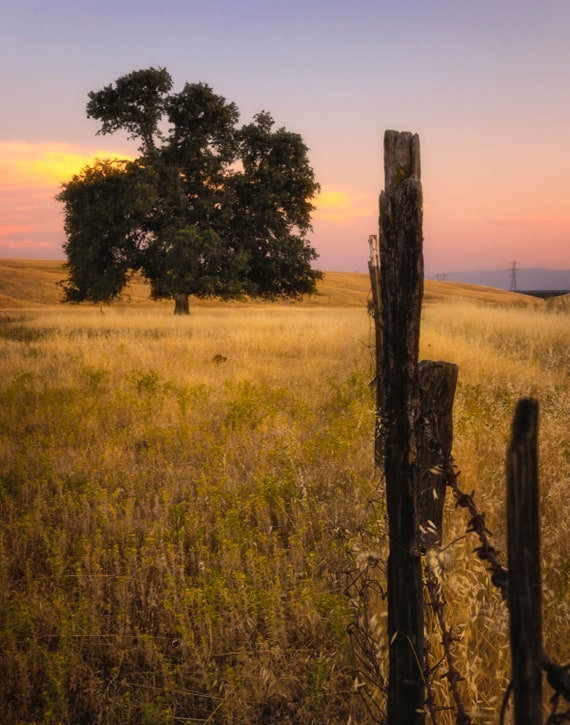 Fenced In (prints) a tree along the fence on Millville Plains Road Northern California