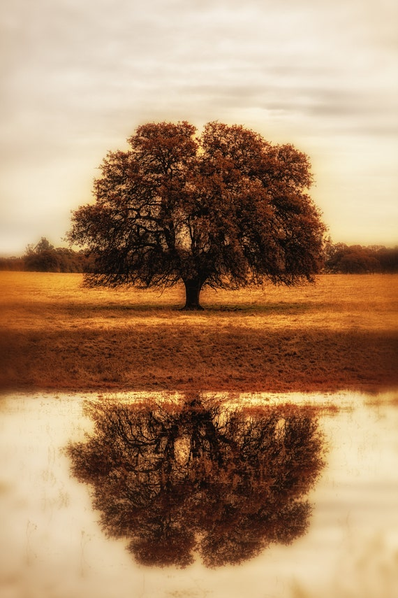 Self Reflections (Metal Panel) a Single Oak Tree in Cottonwood, CA