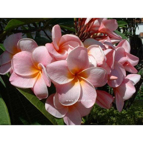 N Look and Smell Color: Rainbow HATCHMATIC Germination Seeds Plumeria Sale 8-12 INCH Cutting Rare