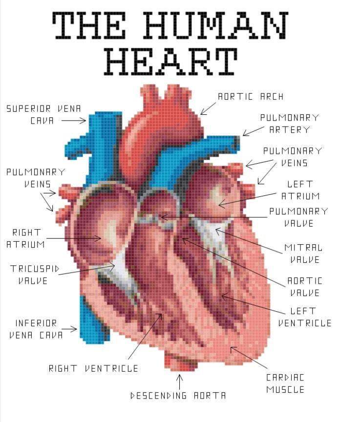 Human Heart Anatomy Cross Stitch Pattern Etsy