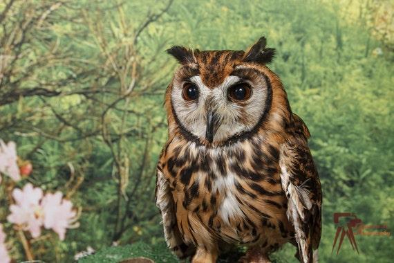 Peanut Peruvian Striped Owl Etsy