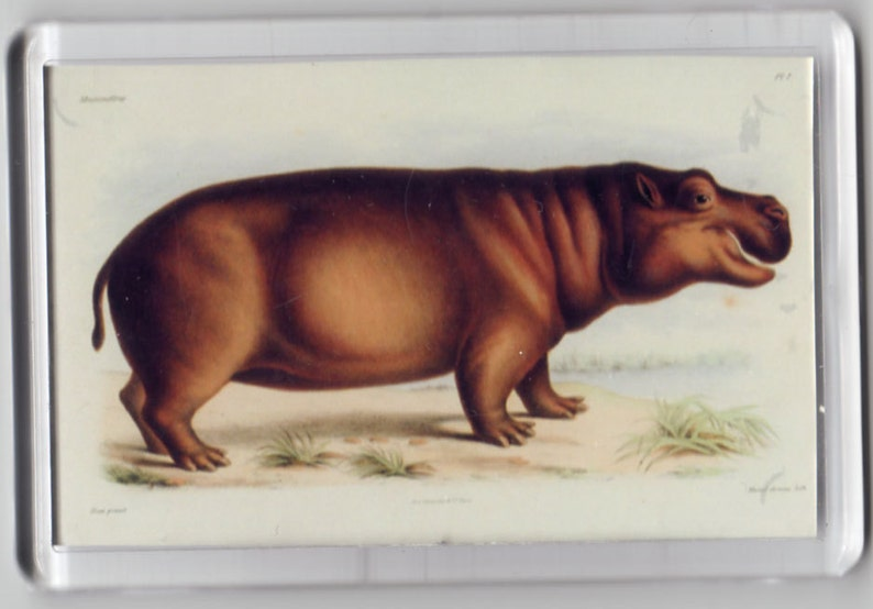 Hippo Hippopotomus Fridge Magnet Huet 1868 vintage nature art repro gift handcrafted acrylic retro