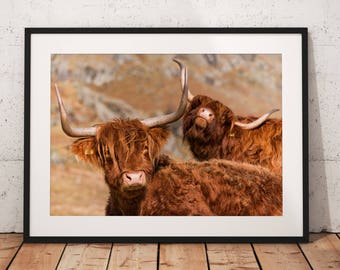 Wildlife photo of a Highland Cows in the Scottish Highlands, Theres always one, cute, funny, nature, Scotland