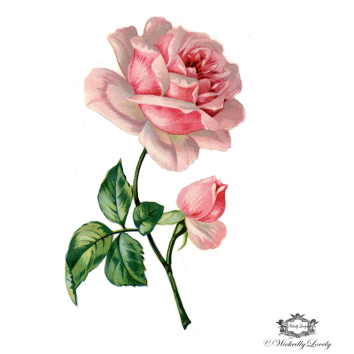 Victorian Pink rose Book illustration Wintage floral tattoo   Etsy