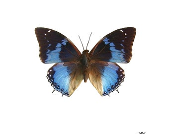 Butterfly Blue Wickedly Lovely Skin Art Temporary Tattoo (includes 2 tattoos)
